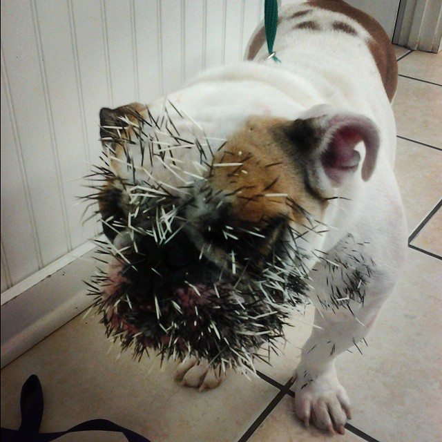 How To Pull Porcupine Quills Out Of Your Dog Vetcha